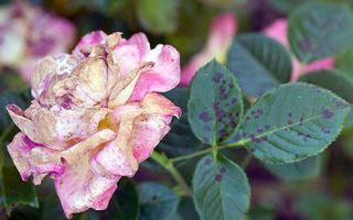 Черная пятнистость на листьях роз и как с ней бороться (фото)