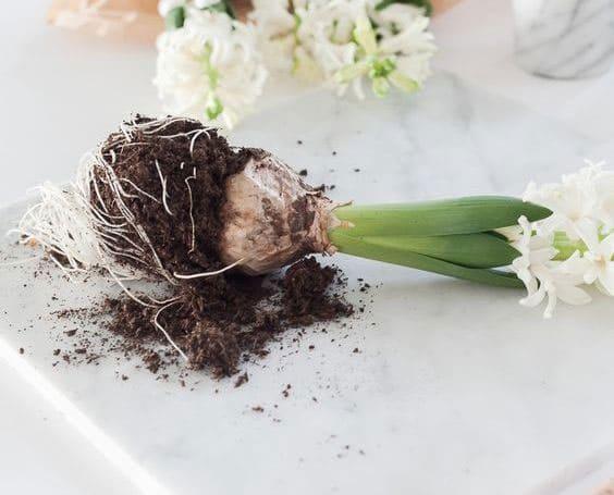 Самые распространенные весенние луковичные цветы для сада (фото)