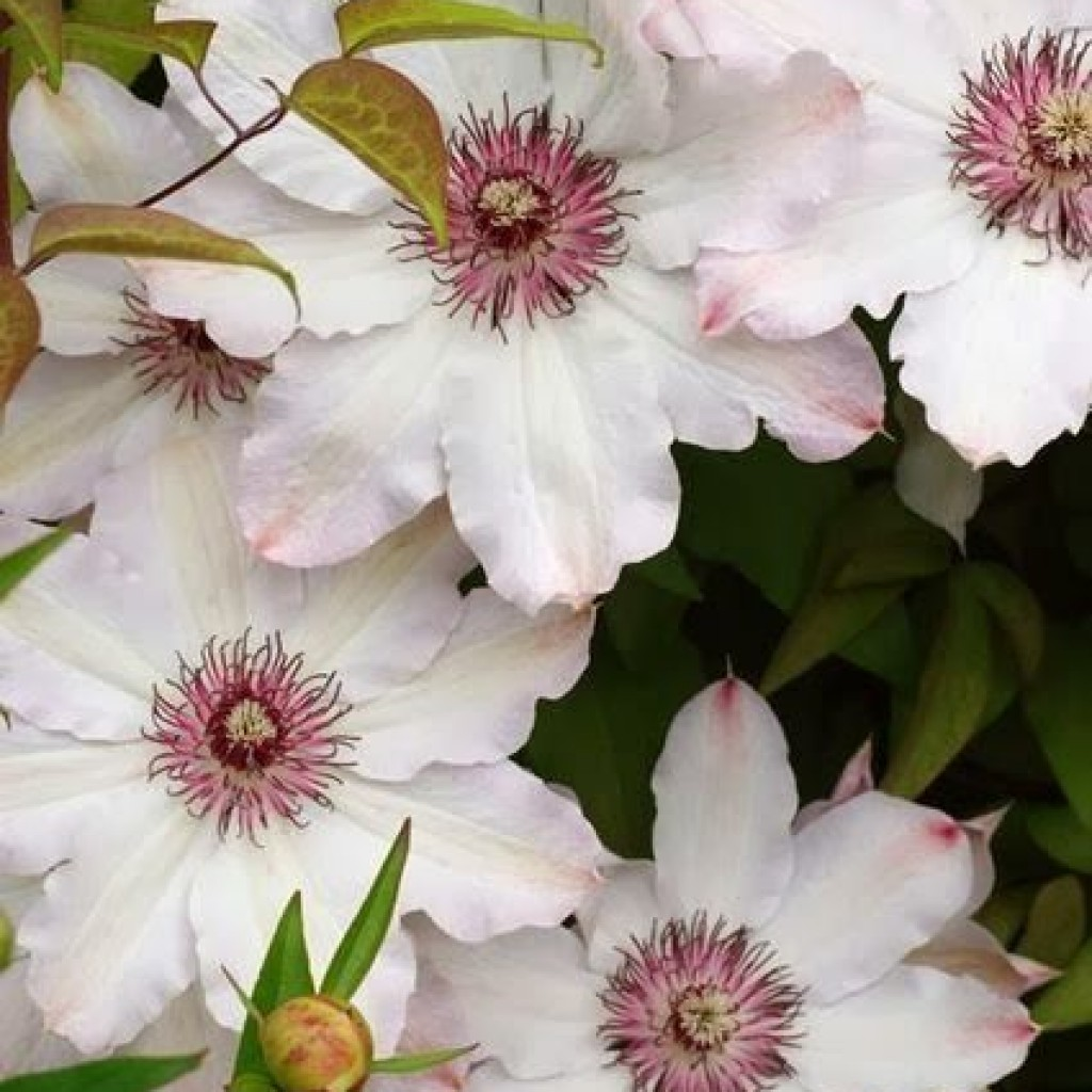 clematis Snow queen 1